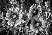 Indian Blanket Flowers (Gaillardia pulchella) along the road in Ocean Isle Beach, North Carolina
