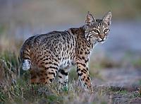 Bobcat, Lynx rufus<br /> Photographer:  Charlie Spiekerman<br /> Property:  Nueces Delta Preserve / Coastal Bend Bays &amp; Estuaries Program<br /> San Patricio/Nueces Counties