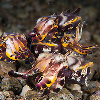 A rare display of courting between a group of Flamboyant Cuttlefish, Metasepia pfefferi, Dauin, Dumaguete, Negros Island Region, Philippines.