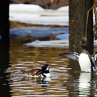 The Hooded Merganser (Lophodytes cucullatus) is a small duck and is the only member of the genus Lophodytes.<br /> Hooded Mergansers have a crest at the back of the head which can be expanded or contracted. In adult males, this crest has a large white patch, the head is black and the sides of the duck are reddish-brown. The adult female has a reddish crest, with much of the rest of the head and body a greyish-brown. The Hooded Merganser has a sawbill but is not classified as a typical merganser.