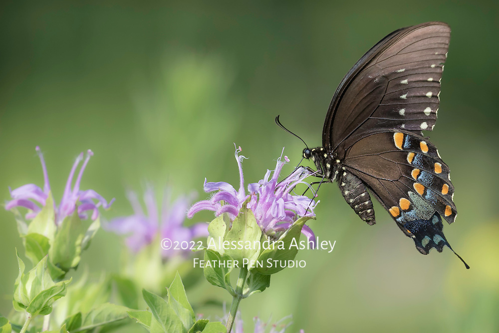 Black swallowtail butterfly nectaring on wild bergamot flower in tallgrass prairie setting, central Ohio.