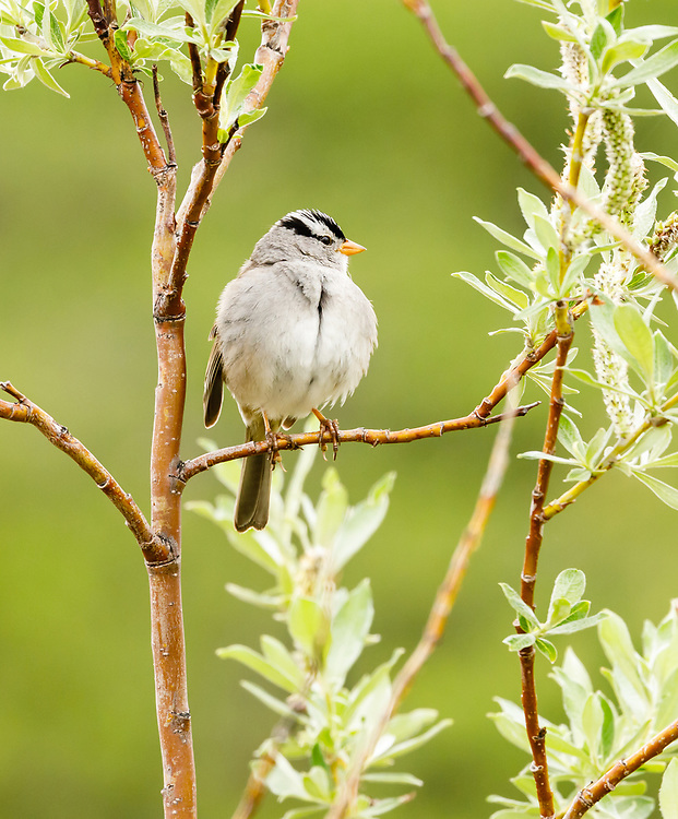White-crowned Sparrow (Zonotrichia leucophrys) perching on willow  outside of Nome in Northwest Alaska. Spring. Afternoon.