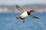 Canvasback, Aythya valisineria, male, Chesapeake Bay, Maryland