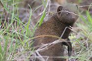 dwarf mongoose, dwergmuishond, Helogale parvula, mangosta enana común, Mangouste naine du Sud