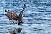 Bald Eagle -  Haliaetus leucophalus coming in to grab the fish