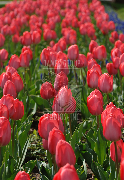 A pink tulip garden in the sun shot in a Depth of field focal point.