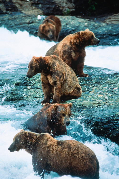 Alaska. McNeil River. Brown grizzly bears form a symmetrical pattern as they compete for salmon.