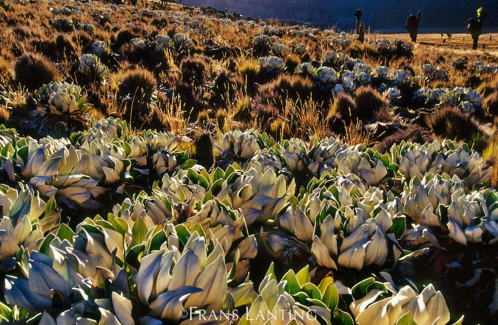 Giant groundsel plants, Senecio keniodendron, Mt Kenya National Park, Kenya