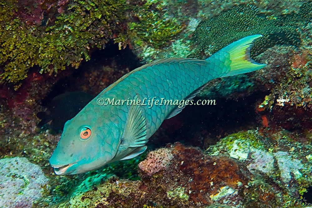 Yellowtail Parrotfish commonly in shallow areas of coral rubble and seagrass, occasionally on reefs, scrape filamentous algae from hard substrates in Tropical West Atlantic; picture taken Utila, Honduras.