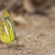 Lesser Gull Butterfly, Cepora nadina nadina in Chaloem Phrakiat Thai Prachan National Park, Thailand.