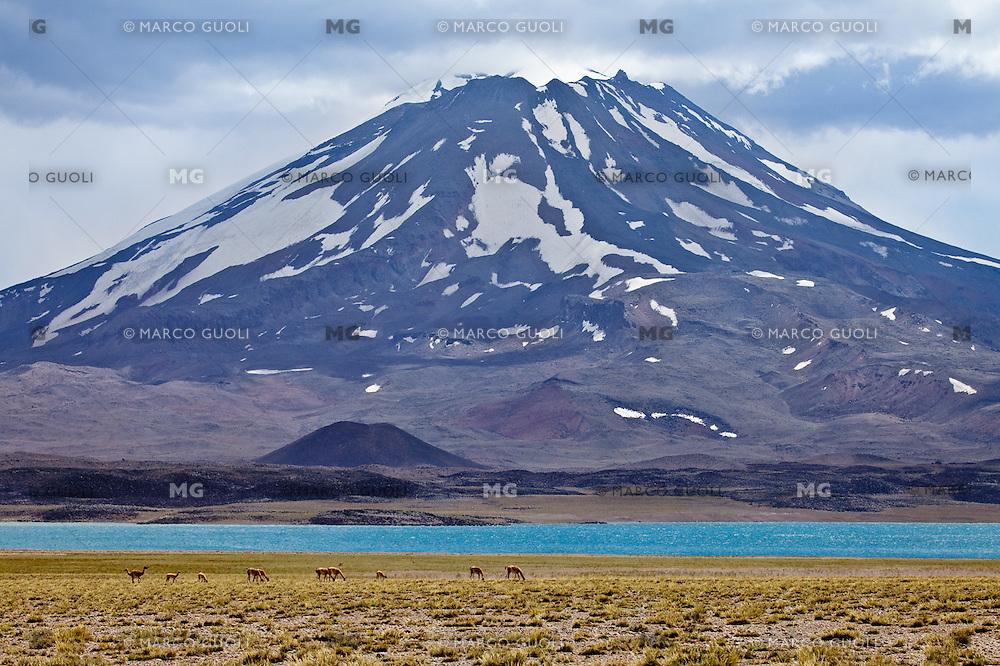 VOLCAN MAIPO Y GUANACOS (Lama guanicoe) PASTANDO, RESERVA NATURAL LAGUNA DEL DIAMANTE, PROVINCIA DE MENDOZA, ARGENTINA