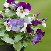 Potted Violas