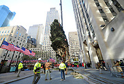Workers raise the 75-foot Norway Spruce, from State College, PA, that will become the Rockefeller Center Christmas Tree, Saturday, Nov. 11, 2017, at Rockefeller Plaza in New York.  The 85th Rockefeller Center Christmas Tree Lighting ceremony will take place on Wednesday, Nov. 29. (Diane Bondareff/AP Images for Tishman Speyer)