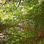 Chinese Goshawk in Hooppine Tree, Tainan City, Taiwan