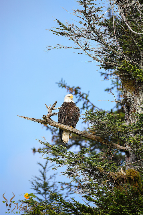 Bald eagle perched in tree looking out