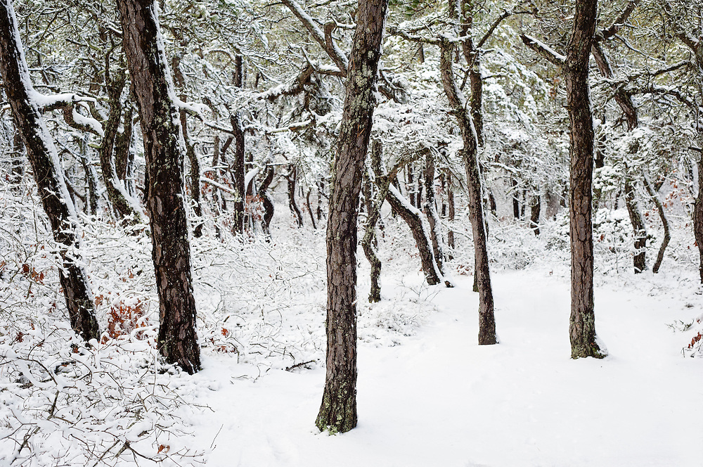 Wellfleet, Massachusetts - A pitch pine and bear oak forest in winter.