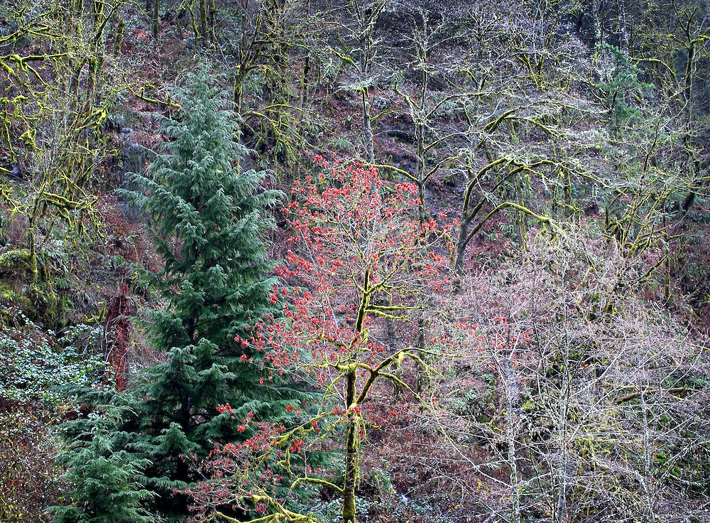 Maple Tree Portrait in Winter Forest, Columbia River Gorge, Oregon