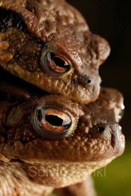 Common toad (Bufo bufo) | Erkröten-Paar (Bufo bufo) auf der Wanderung zum Laichgewässer
