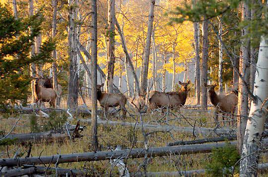 Elk(Cervus canadensis) Yellowstone National Park.