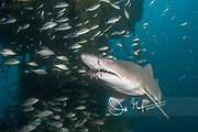 A Sand tiger shark swims through the shipwreck of the Aeolus, an Artemis-class attack cargo ship that was converted into a cable repair ship and eventually sunk to be used as an artificial reef off the coast of North Carolina.