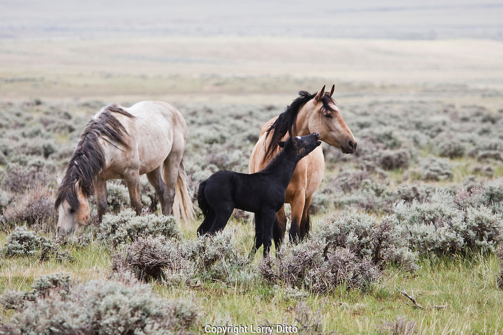 Wild Horse (Equus caballus) adult and young in sagebrush prairie, Wyoming, USA