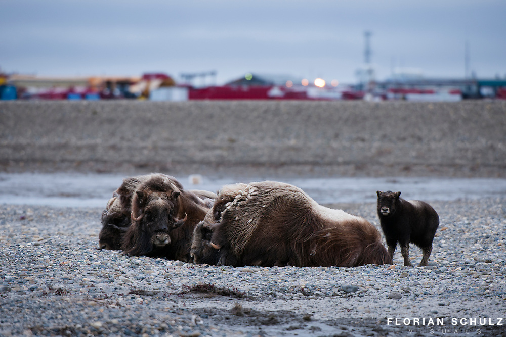 A group of musk oxen at the edge of the oil town of Deadhorse. Vast developments certainly have an impact on wildlife as activity may displace large mammals, yet attracting predators like Arctic and Red Fox that may have a strong impact on local bird population. Prudhoe Bay Oil Field, Alaskan Arctic