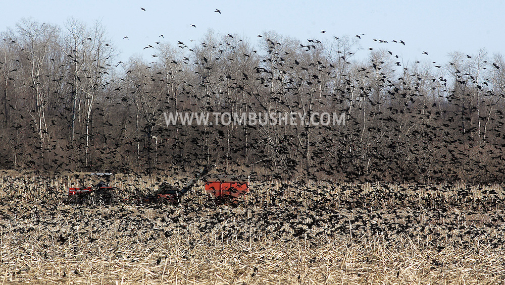 A flock of red-winged blackbirds takes off while farmer Edward Gantz, on tractor, harvests corn in a field at Gantz Farm Services in New Hampton on Tuesday, Feb. 17, 2009.
