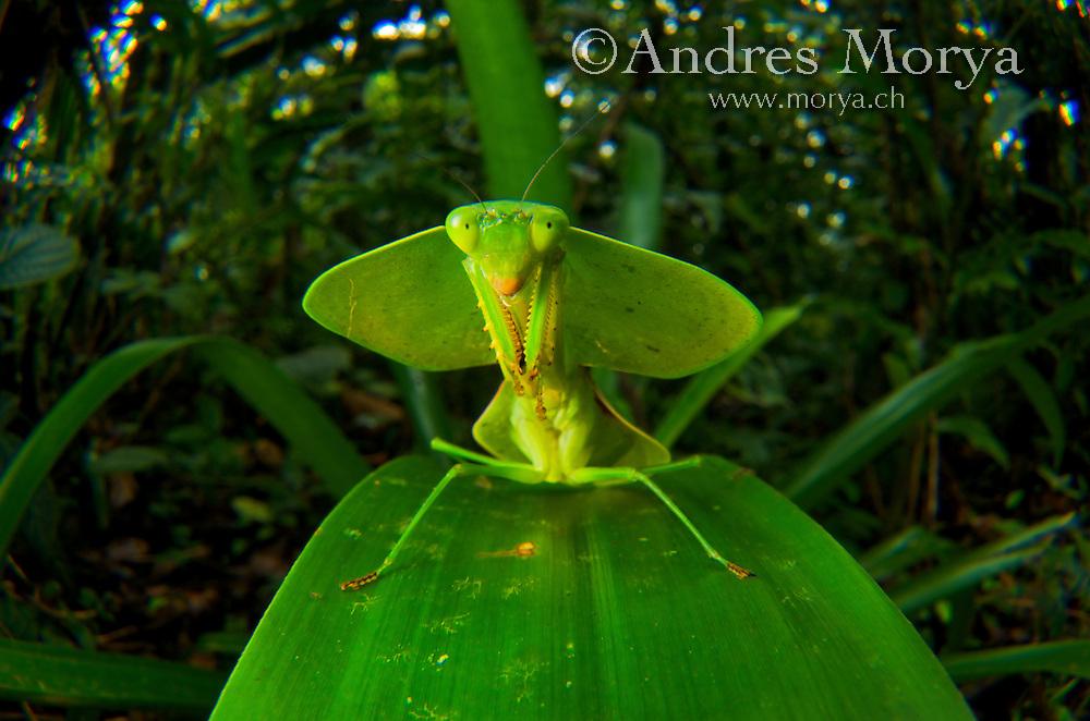 Hooded mantis (Choerododis rhombifolia), Costa Rica Image by Andres Morya
