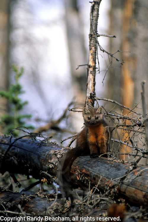 Pine marten in conifer forest that burned in 1988. Yellowstone National Park, Wyoming