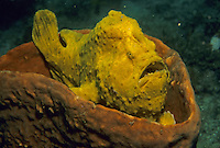 A giant frogfish (Antennarius commersoni) resting in a sponge.