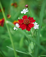 Red Coreopsis. Image taken with a Leica SL2 camera and Sigma 100-400 mm lens