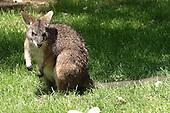 Wallaby & Kangaroo