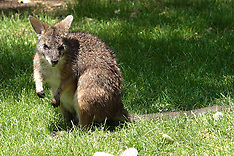Wallaby & Kangaroo Royalty Free Stock Images