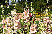 This beautiful stand of Hollyhocks provides a nice contrasting screen to the many other colorful flowers in the background.