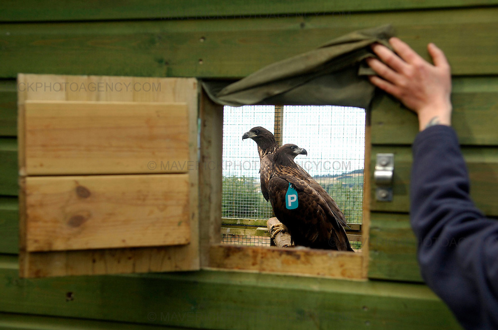 Fourteen Sea Eagle chicks are to be reintroduced to the east of Scotland after spending time being looked after in custom-built aviaries in Fife.  The project run by the RSPB began after the chicks were collected from nests in Norway with the aim of eventually releasing them at the Tay estuary in Fife so they can establish new colonies.