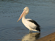 "A black and white Australian Pelican reflects in the water at  Coalmine Beach, Walpole-Nornalup National Park, Western Australia. Published in the book ""Pelican in the Wilderness"" 2008 by Ivan Clutterbuck,. Gracewing Publishing Ltd, UK."