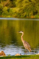 A crane/heron slowly and calmly eyes a dinner of fish out in the lake.