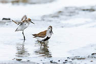 Dunlin (Calidris alpina) and Western Sandpiper (Caldris mauri) foraging at Hartney Bay in Cordova in Southcentral Alaska. Spring. Morning.
