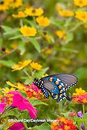 03004-01011 Pipevine Swallowtail (Battus philenor) on Red Spread Lantana (Lantana camara) in butterfly garden, Marion Co.  IL