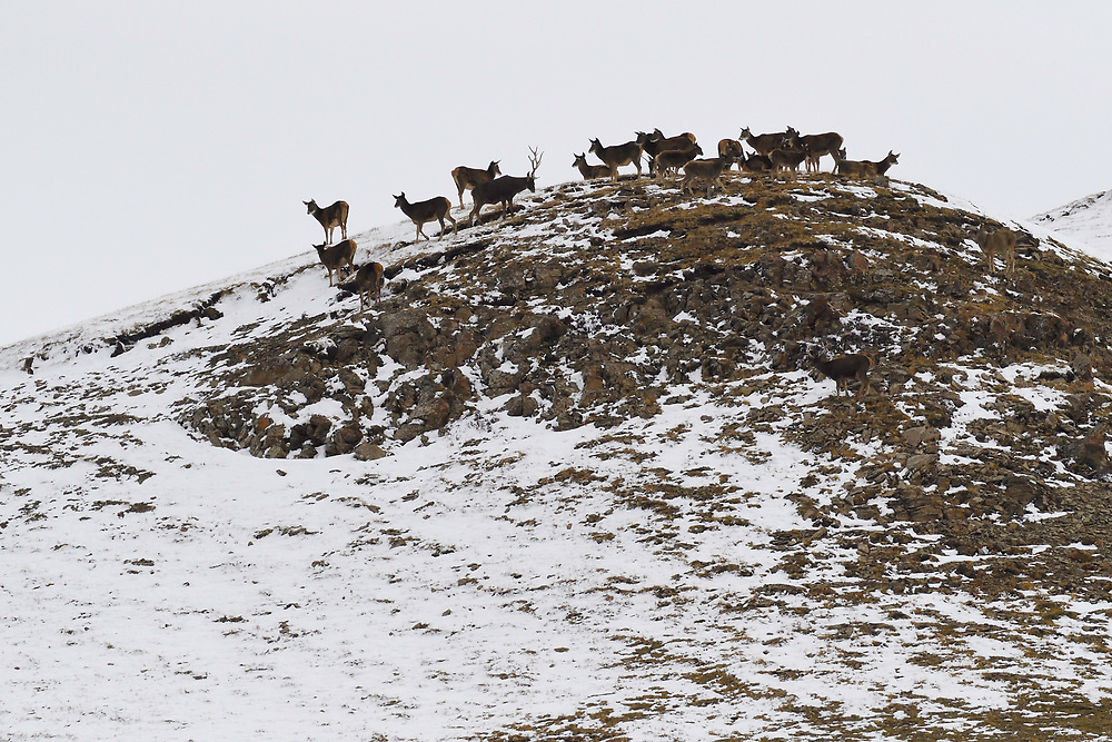 White-lipped or Thorold's deer (Cervus albirostris), Yushu, Tibetan Plateau, Qinghai, China