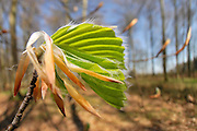 Erste Buchenplätter im Frühling | very first leaves of spring on the  beech [genus Fagus]