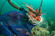 Invasive lionfish (Pterois volitans) photographed off Fort Lauderdale, Florida, USA