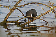 A Eurasian coot wrestling with the branches of a dead and sunken tree at the flooded peat workings that formed Decoy Lake on the Shapwick Heath Nature Reserve.