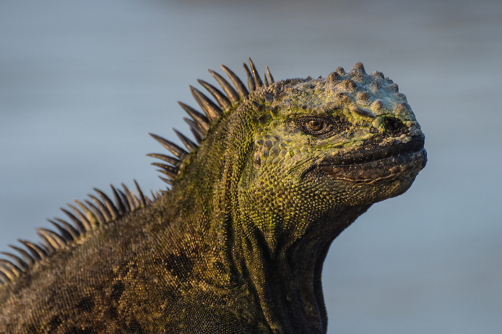 Close-up of a marine iguana with its face covered in algae, Isla Isabela, Galapagos, Ecuador.