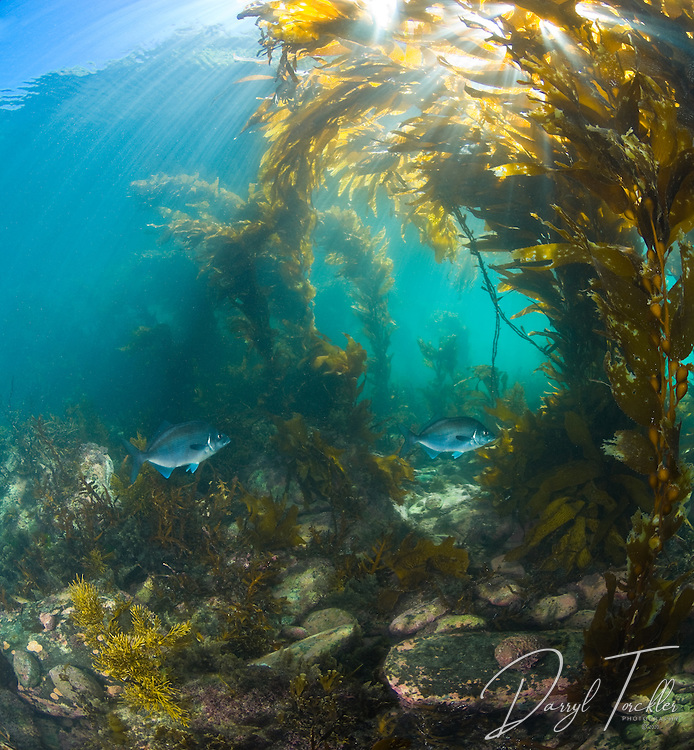 Blue Moki meander through giant kelp on Cape Jackson. Marlborough sounds. New Zealand<br />