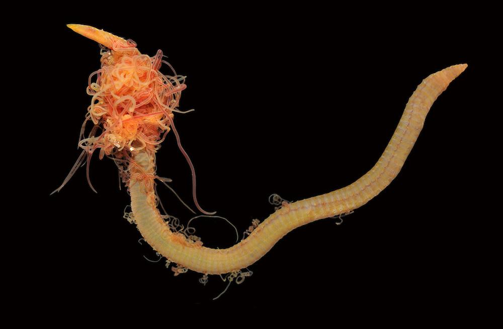 Cirriformia tentaculata