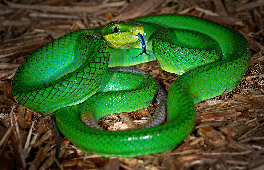Red Tailed Green Rat Snake(Gonyosoma oxycephala)