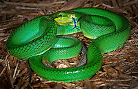 Red Tailed Green Rat Snake(Gonyosoma oxycephala)