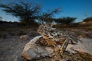 Portrait of a Texas Horned Lizard.