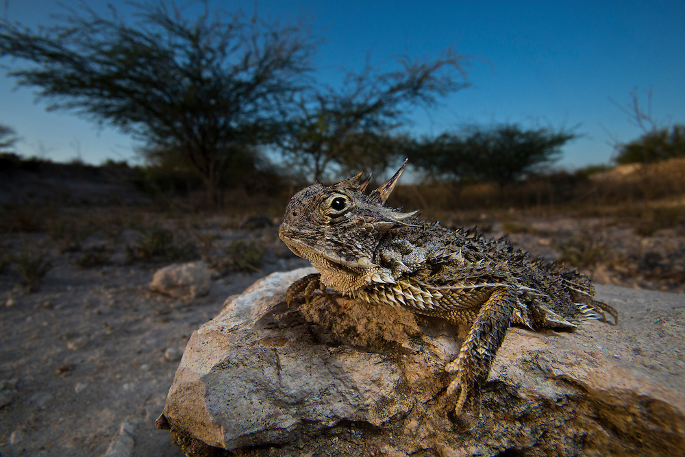 Portrait of a Texas Horned Lizard.